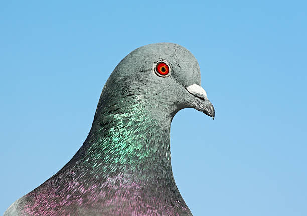 Porträt von Pigeon – Foto