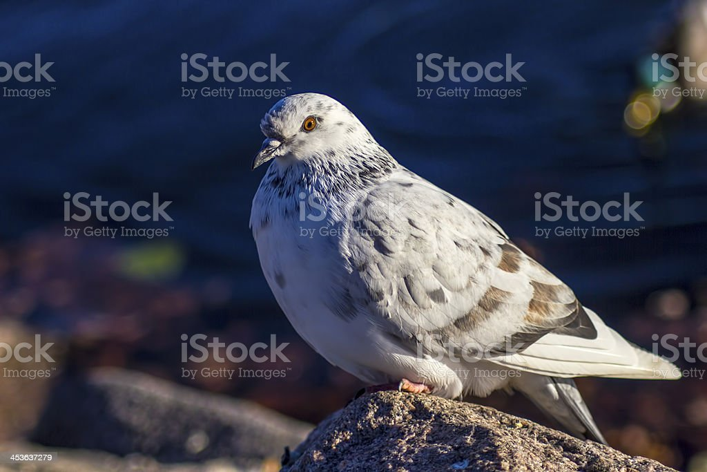 Portrait of a Pigeon royalty-free stock photo