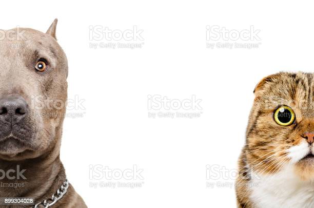 Portrait of a pit bull and scottish fold cat half face picture id899304028?b=1&k=6&m=899304028&s=612x612&h=7ffzzylb6ak6hkxbbmdanktlx2b3i4br umed616h1s=