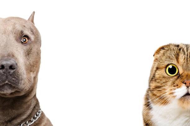 porträt eines pit bull und scottish fold katze, halbe gesicht - pitbull welpen stock-fotos und bilder