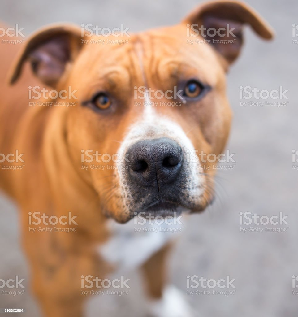 portrait of a pit bull dog stock photo