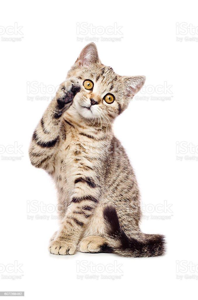 Portrait of a playful kitten Scottish Straight stock photo