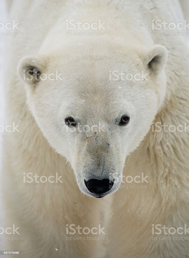 Portrait of a polar bear. stock photo