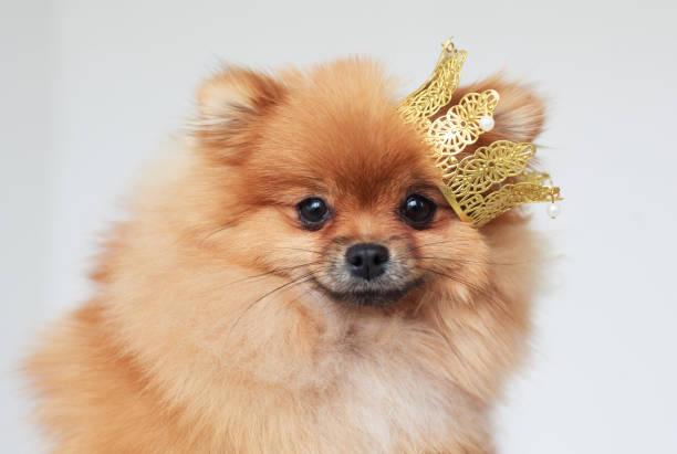portrait of a pomeranian spitz - prinzessin tiara stock-fotos und bilder