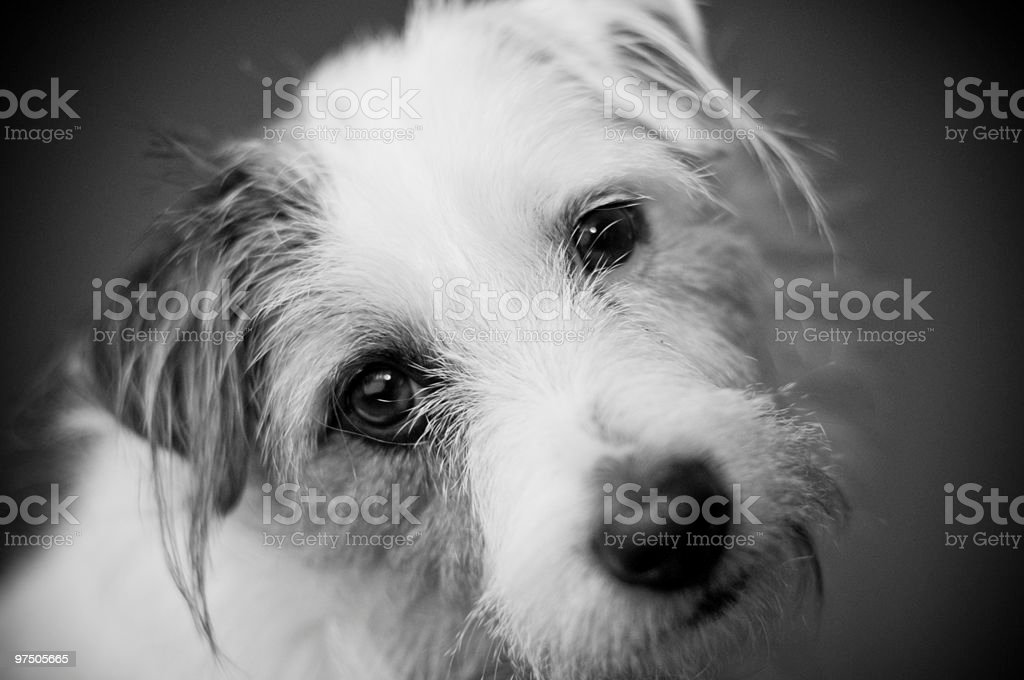 Portrait of a Pooch royalty-free stock photo