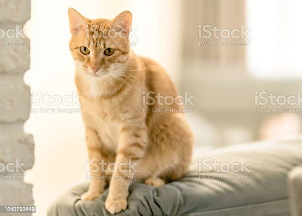 Portrait of a pretty domestic ginger tabby cat is sitting on a sofa picture id1243793449?b=1&k=6&m=1243793449&s=612x612&h=g6tcebicig5ose zcejhfewjplxrqhxwp1yduhntjly=