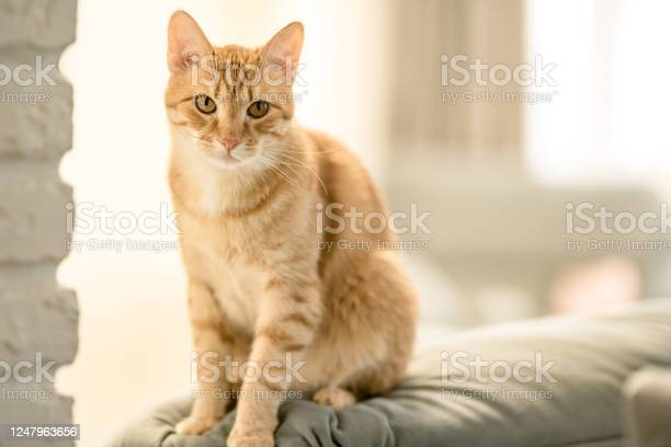 Portrait of a pretty domestic ginger tabby cat is sitting on a sofa picture id1247963656?b=1&k=6&m=1247963656&s=612x612&h=mdwrqgyr0j9f0plgvc fyblx4ggy3oprqxoh7zie3d0=