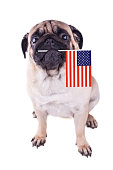 Portrait of pug dog with flag of USA in the mouth.