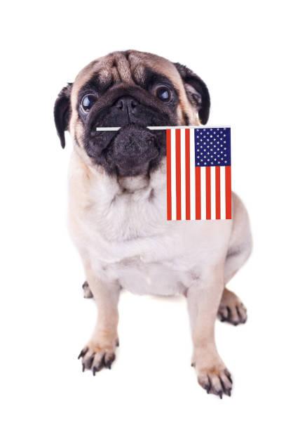 ağız abd bayrağı ile bir pug köpek portresi. - k logo stok fotoğraflar ve resimler