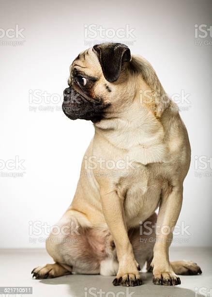Portrait of a pug picture id521710511?b=1&k=6&m=521710511&s=612x612&h=bfj4u9altdi6vbvpjigv2thgikcela1a0yycr 31bvo=