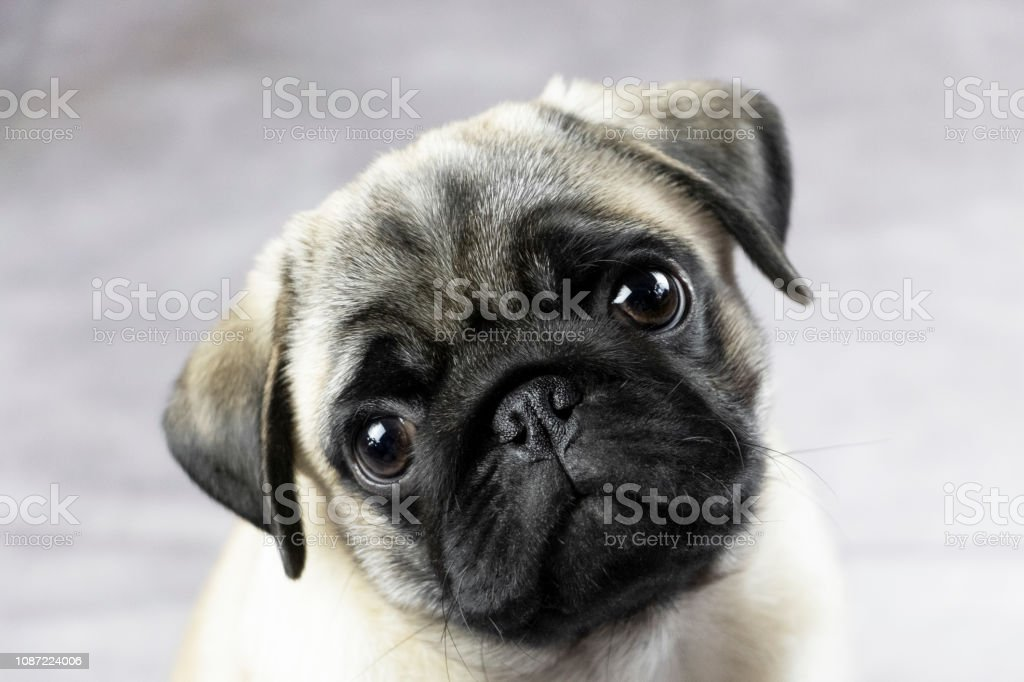 Portrait Of A Pug Puppy Stock Photo Download Image Now Istock