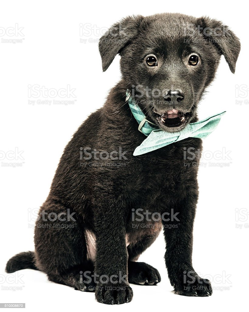 Portrait of a puppy dog with bowtie stock photo