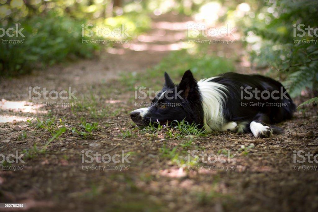 Retrato de un cachorro de collie de la frontera en el bosque foto de stock libre de derechos