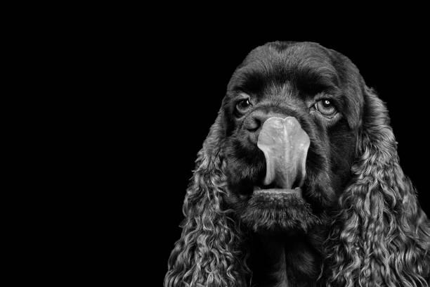Portrait of a purebred American Cocker Spaniel stock photo