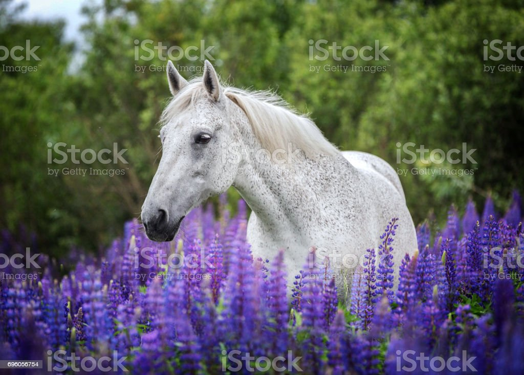 Portrait of a purebred arabian horse on lupine flowers background. stock photo