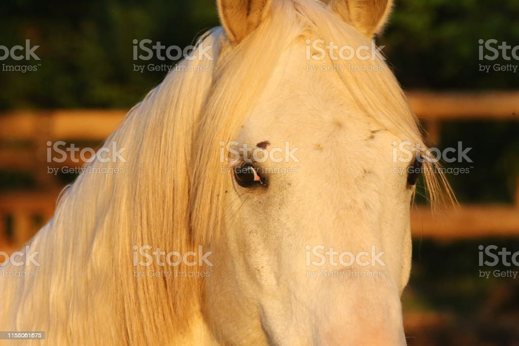 Portrait Of A Purebred Gray Arabian Stallion Closeup Of A Young Purebred Horse Purebred Young Shagya Arabian Horse Posing At Golden Hour On Rural Animal Farm Stock Photo Download Image Now