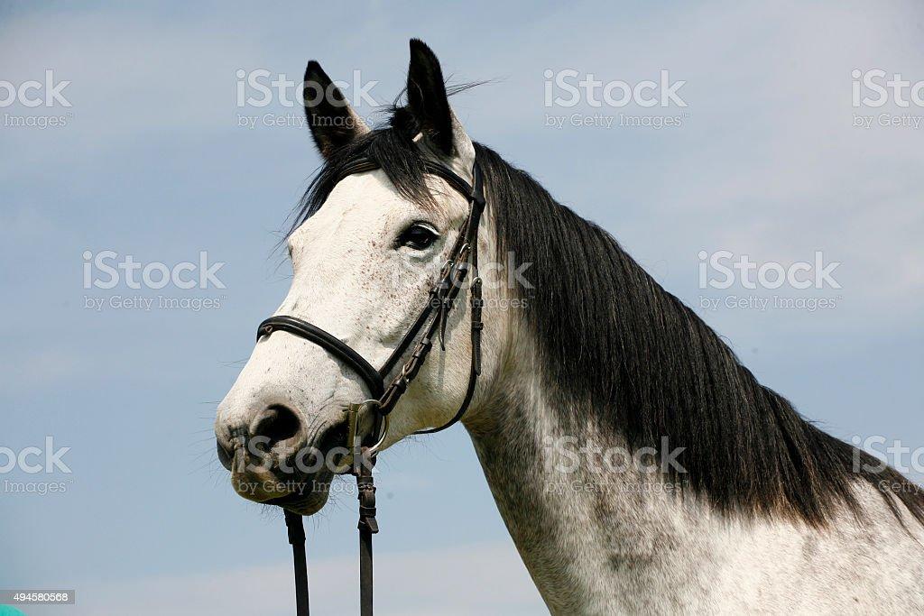 Portrait of a purebred gray horse rural scene stock photo