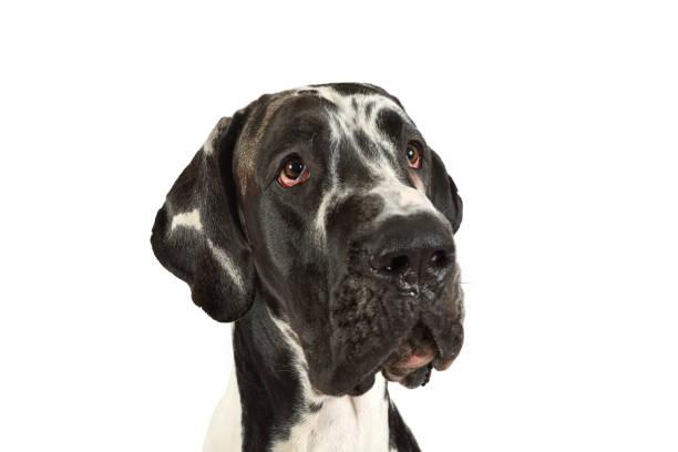 Retrato de un gran perro danés de pura raza - foto de stock