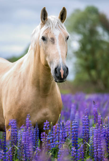 Portrait of a purebred horse on lupine flowers background. Horse posing among blooming lupine flowers. palomino stock pictures, royalty-free photos & images