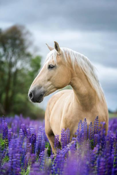 porträt der reinrassigen pferde auf lupine blumen hintergrund. - andalusier pferd stock-fotos und bilder