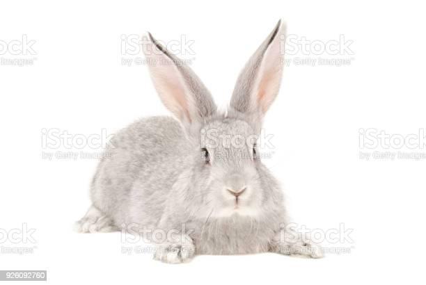 Portrait of a rabbit picture id926092760?b=1&k=6&m=926092760&s=612x612&h=29unqu3ejutfcvehu0uvhwg0g7qbjy1khqtvu5dkuvs=