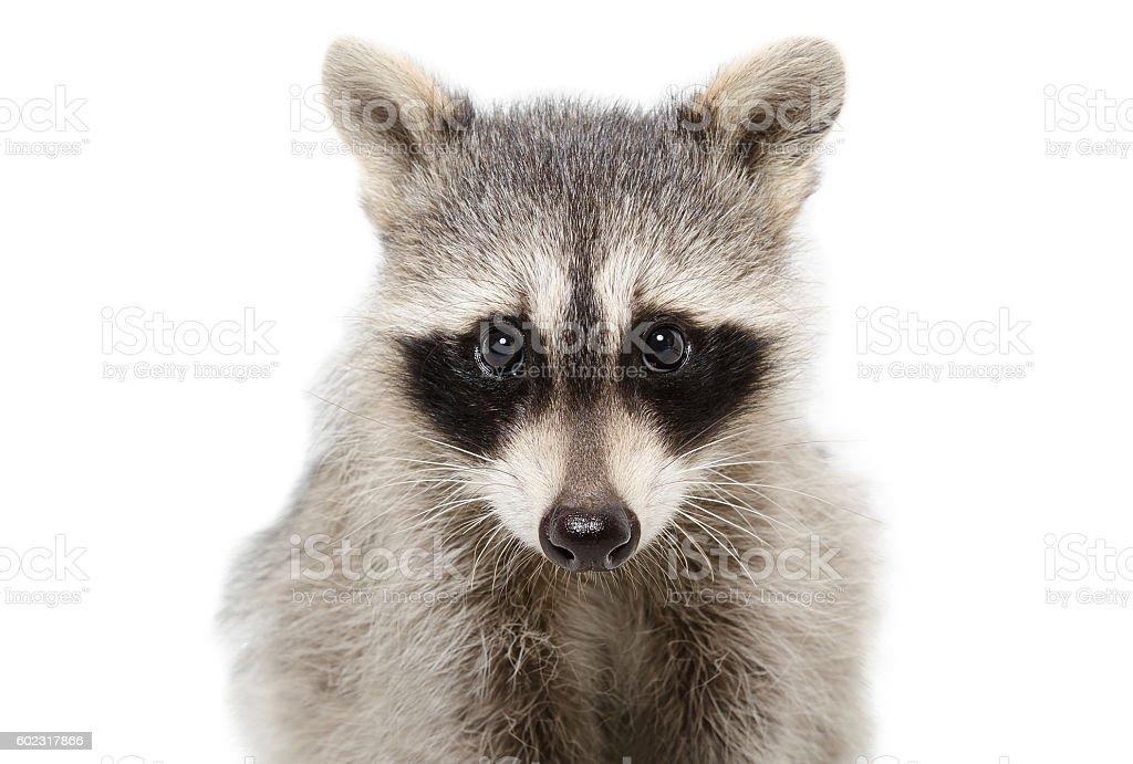 Portrait of a raccoon closeup stock photo