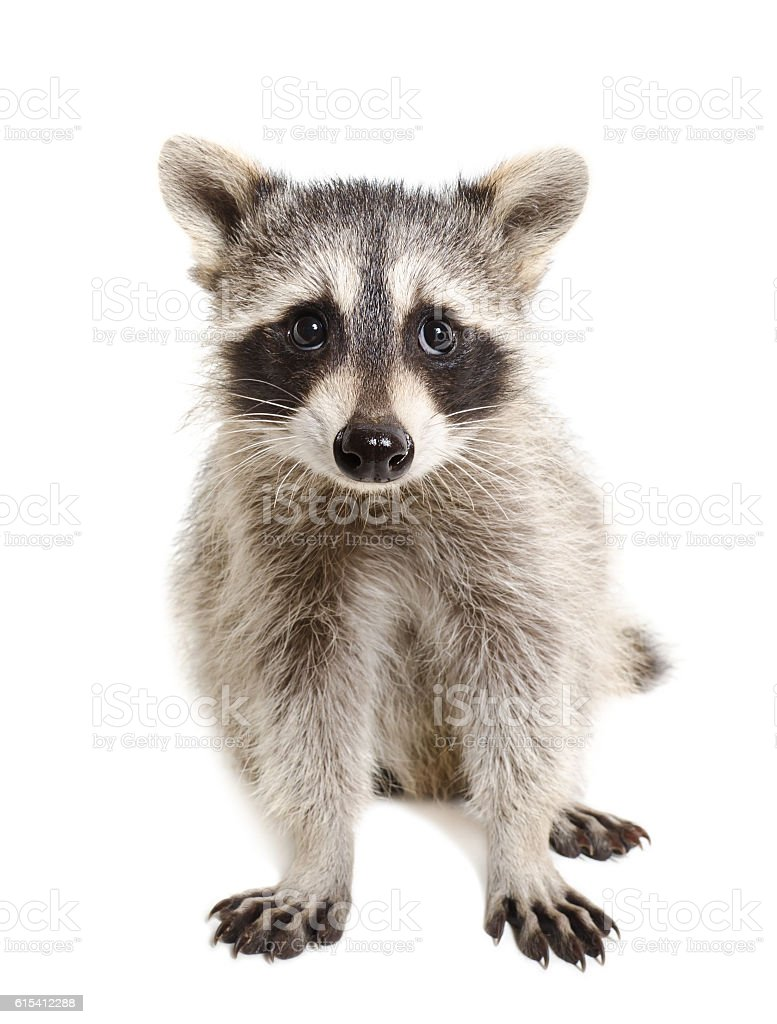 Portrait of a raccoon sitting isolated stock photo