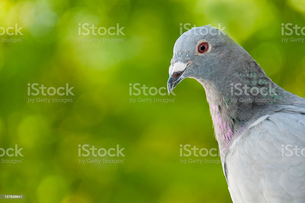 Portrait of a racing pigeon, blurred green background stock photo
