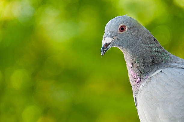 Porträt von einem Rennen pigeon, verschwommene grünem Hintergrund – Foto