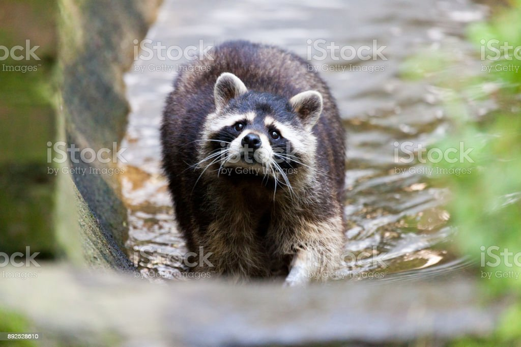 portrait of a racoon in a nature scene stock photo
