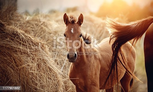 Portrait of a red foal with an asterisk on a forehead next to the mare on the background of bales of hay.