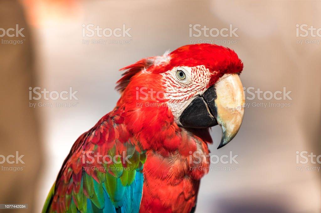 Retrato de um vermelho - verde arara papagaio vista de perfil, closeup, ao ar livre. - foto de acervo