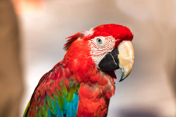 retrato de um vermelho - verde arara papagaio vista de perfil, closeup, ao ar livre. - arara vermelha retrato - fotografias e filmes do acervo