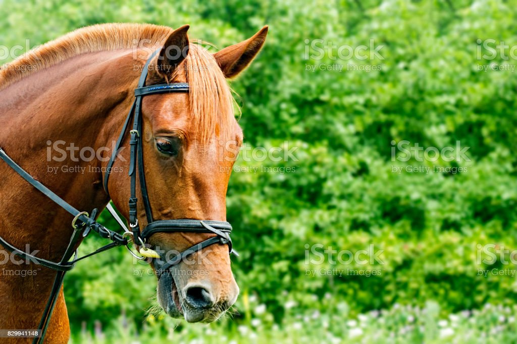 Portrait of a red horse on a green background with copyspace stock photo