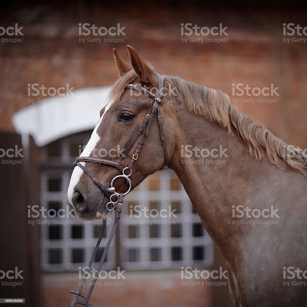 Portrait of a red horse. stock photo