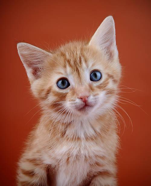 Portrait of a red kitten picture id474449094?b=1&k=6&m=474449094&s=612x612&w=0&h=2htmtji8xluqgeju4q 31uucqjagbycjle5snzqi9to=
