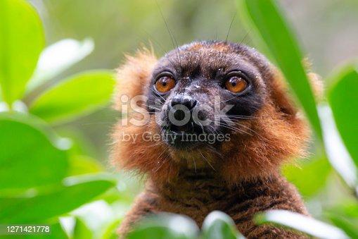 portrait of a red lemur vari in Antananarivo, Antananarivo Province, Madagascar