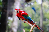 istock Portrait of a red macaw (Ara chloropterus) on a tree branch. Photo taken in Brazil 1087526512