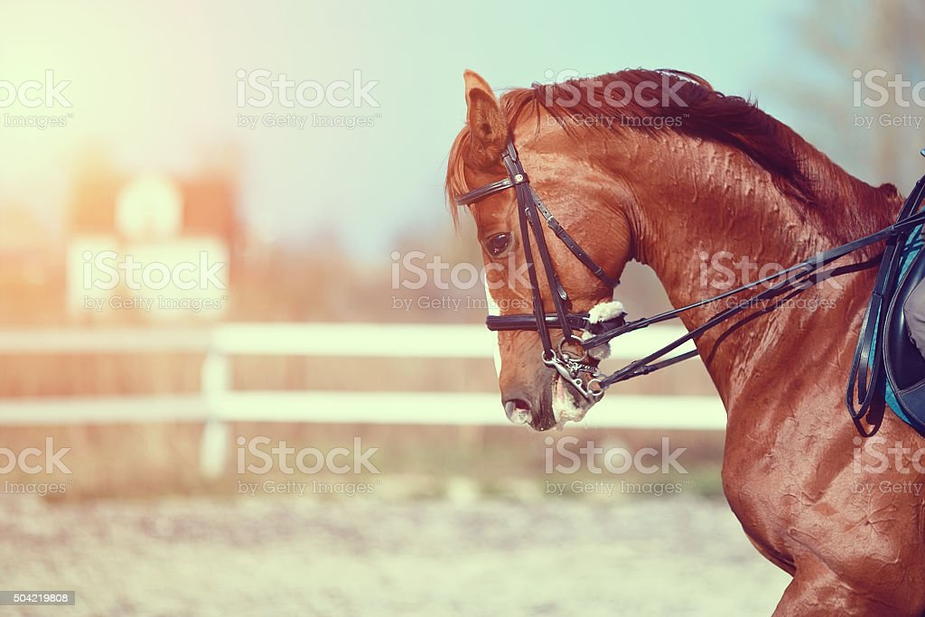 Portrait of a red sports horse stock photo