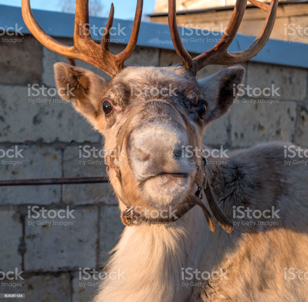 Portrait of a reindeer. The deer looks at the photographer. There are horns on the head of deer. stock photo