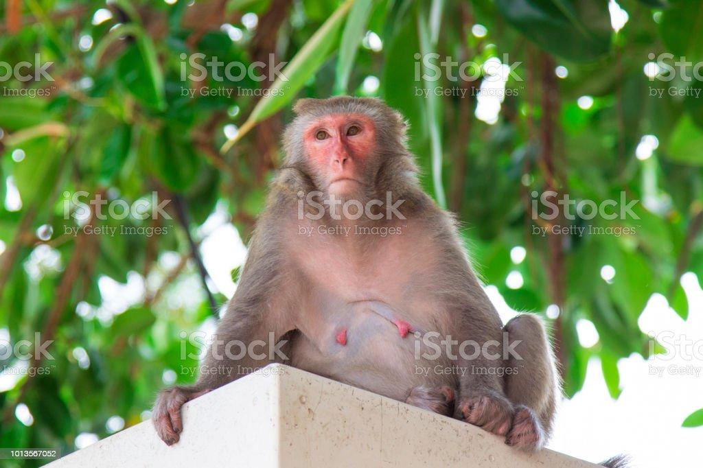 Portrait of a Rhesus macaque monkey (Macaca mulatta) in Hong Kong. stock photo