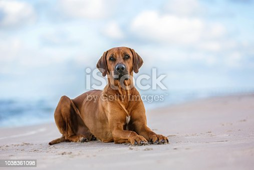 Rhodesian ridgeback dog outdoors.