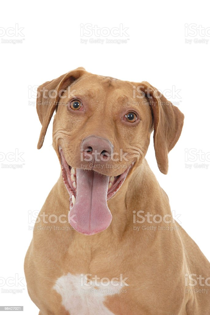 Portrait of a Rhodesian Ridgeback royalty-free stock photo