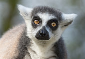 Portrait of ring-tailed lemur.