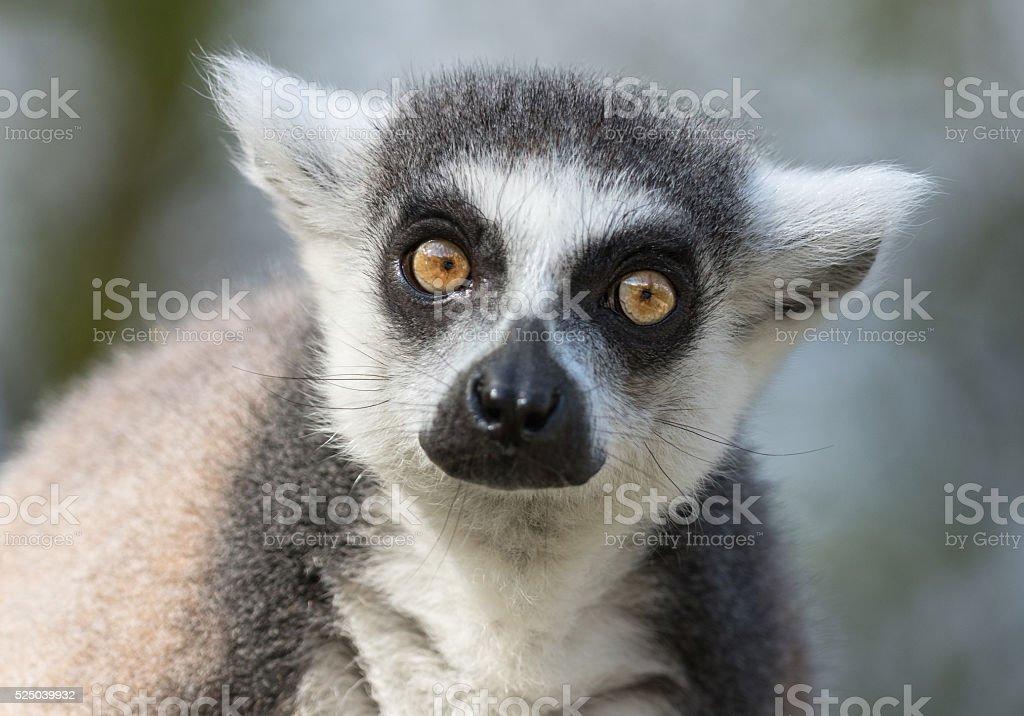 Portrait of a ring-tailed lemur (Lemur catta) stock photo