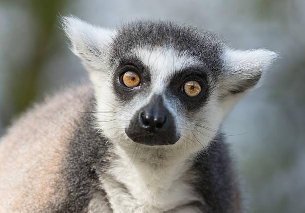 portrait of a ring-tailed lemur (lemur catta) - lemur bildbanksfoton och bilder