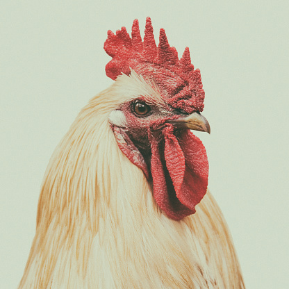 A toned close-up portrait of a rooster