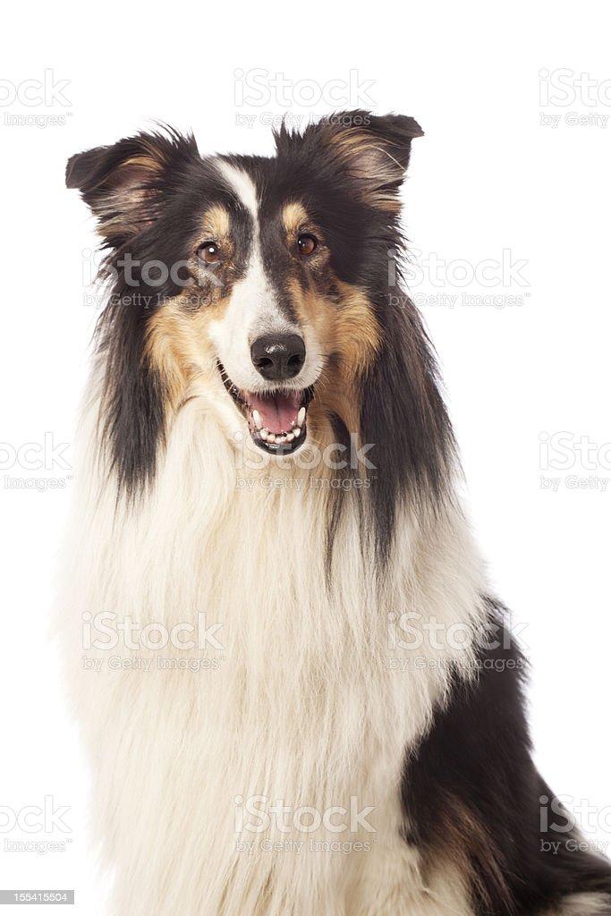 Portrait of a Rough Collie stock photo