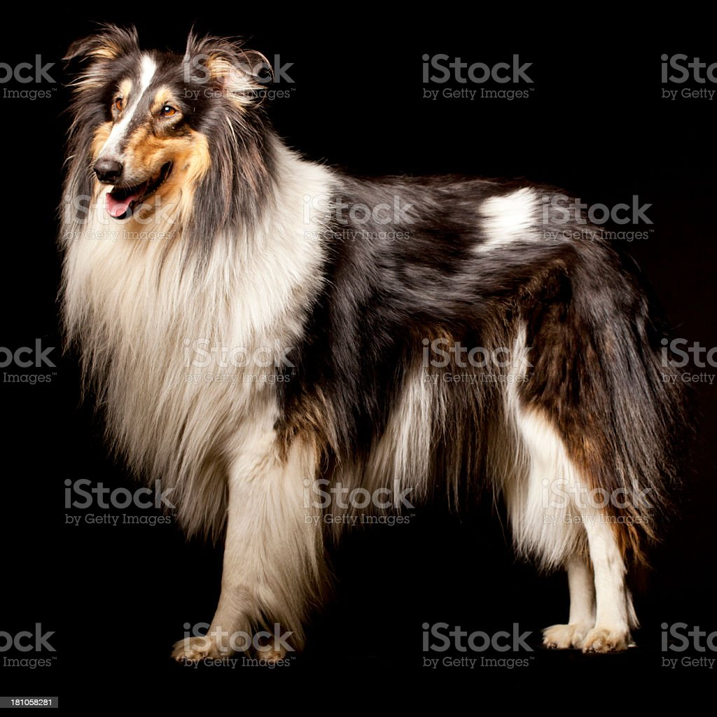 Portrait of a Rough Collie royalty-free stock photo