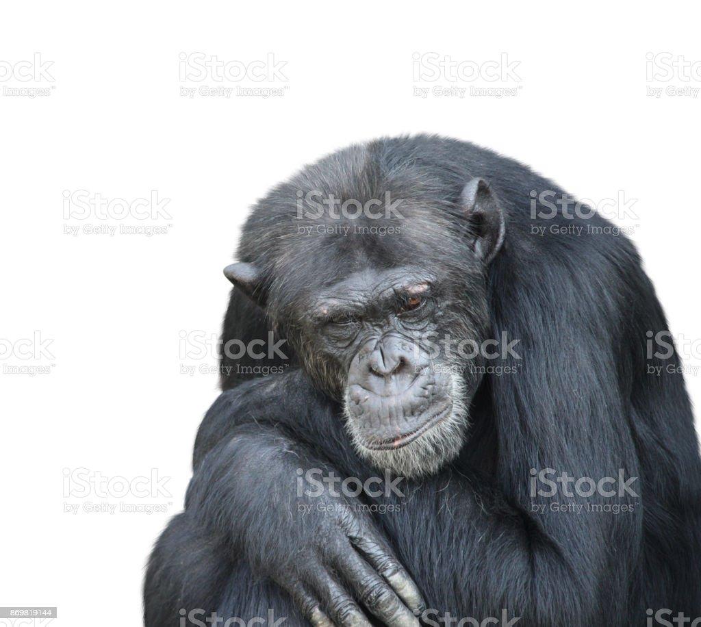 悲しいチンパンジーの肖像画 ストックフォト